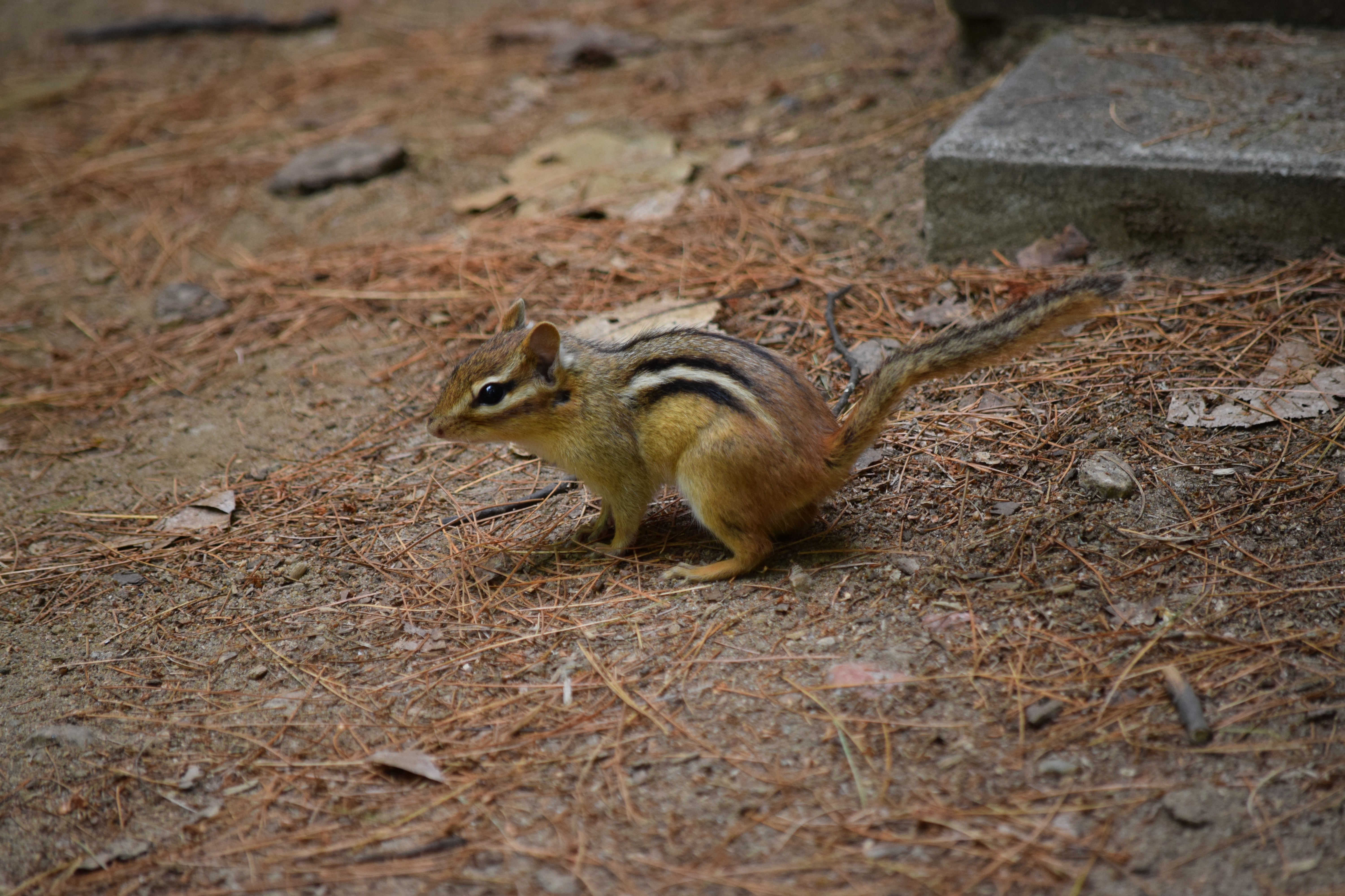 Not just amphibians: Chipmunks, look who else shares our habitat on Kawagama Lake!